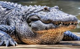 giant black line crocodile hd wallpapers high defination images 350
