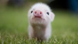 Cute Baby Pigs 11278 Hd Wallpapers 1746