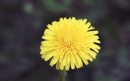 Download Dandelion 1280x800 Wallpaper 413