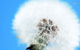 Dandelion wallpaper 1153