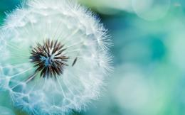 Dandelion Flower Wallpapers 1249