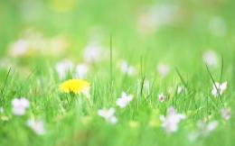 Dandelion Flowers HD Wallpaper Widescreen 1344