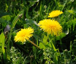 Download Dandelion flower wallpaper for Samsung Galaxy Tab 1789