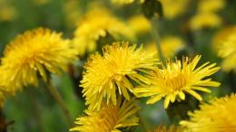 Dandelion Flower Wallpapers 172