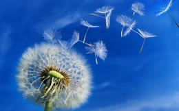 Dandelion Flowers HD Wallpapers 255