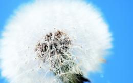 Dandelion Flower Wallpapers 1159