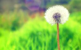 Dandelion Wallpapers Pictures Photos Images 119