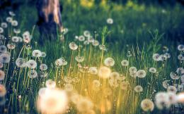 Dandelion Field Wallpaper 1472