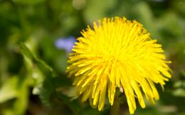 1424 dandelion 2880x1800 flower wallpaper jpg 498