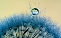 dandelion flower water drop dandelion flower pink dandelion flower 799