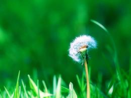 : Dandelion Flowers Wallpapers, DandelionFlowers Desktop Wallpapers 1469