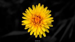 Dandelion Flower wallpapers 1565