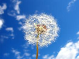 pk wallpaper zone provides you the Dandelion Flowers Wallpapers You 350