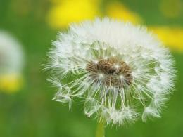 Tag: Dandelion Flowers Wallpapers, Backgrounds,Photos, Images and 1210