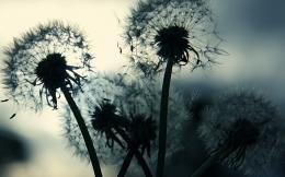 dandelion wallpaper 1546 1595 hd wallpapers jpg 717