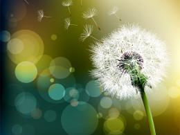 Tagged with: Dandelion Flowers Dandelion Flowers HD Wallpaper 1661
