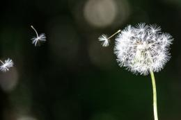 Flying DandelionWallpaper Pin it 516