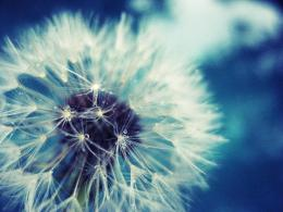 Dandelion flower wallpaperHD Backgrounds 390