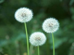 : Dandelion Flowers Wallpapers, DandelionFlowers Desktop Wallpapers 867