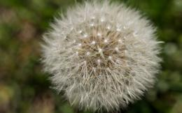 Dandelion blowball wallpaper 881