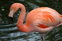 flamingo birds wallpapers flamingo birds wallpapers flamingo birds 480