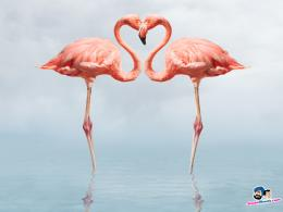 Beautiful Flamingos HD Wallpapers 1775