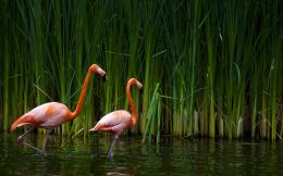 Flamingos reed Wallpaper pictures, photos in best quality 937