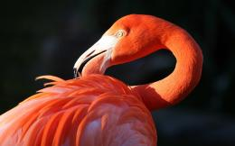 flamingo bird beak wallpaper background 1364