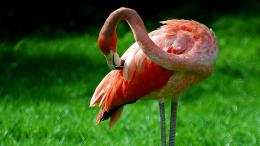flamingo bird hd wallpapers jpg 1604