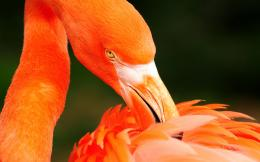 Orange flamingo wallpapers and images 428