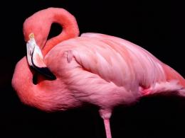 beautiful pink chilean flamingo 1622