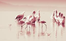 Beautiful Flamingos HD Wallpapers 1034