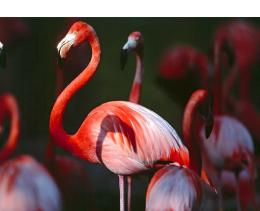 Flamingos Birds Wallpapers 1397