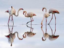 White Flamingo 1117
