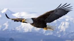 eagle flying bird hd wallpaper eagle flying hd wallpaper flying 1968