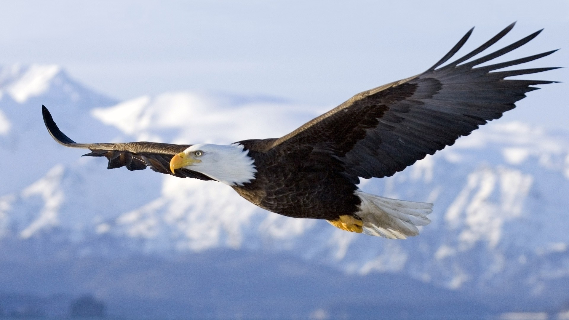 flying birds hd wallpapers 1