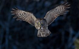 Bird Owl Flying Wings HD Wallpaper 152