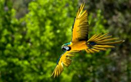 parrot fly birds HD Wallpaper of Birds 1014