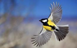 flying birds wallpapers hd yellow belly Flying Birds Wallpapers HD 1737