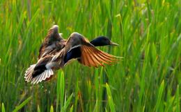 flying duck hd wallpapers best desktop duck images fullscreen flying 1656