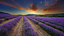 Tagged with: Lavender Fields Lavender Fields HD Wallpaper 1100