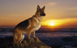 German Shepherd Wallpapers 307