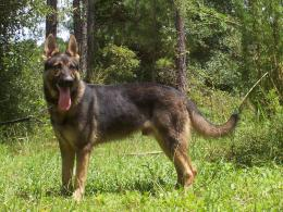 shepherd dog photo german shepherd dog running german shepherd dog 1225