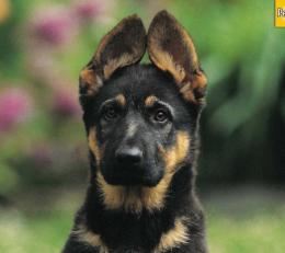 Homepage » Dog » Puppy » German Shepherd Puppy Wallpaper 2 1607