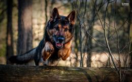 Tagged with: German Shepherd Wallpapers HD Wallpapers 1333