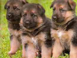 Homepage » Dog » Puppy » german shepherd puppies wallpaper 666