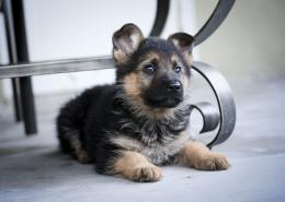 German Shepherd Puppies Photo Gallery 1137