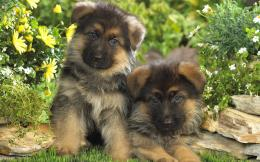 German Shepherd New Wallpapers 502