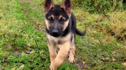 Homepage » Dog » Puppy » german shepherd puppy wallpaper 2 285