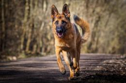 german shepherd high quality wallpaper download german shepherd images 789